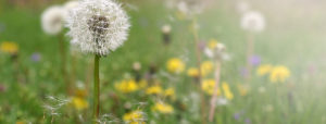 An image of of a dandelion field with a dandelion in front profile