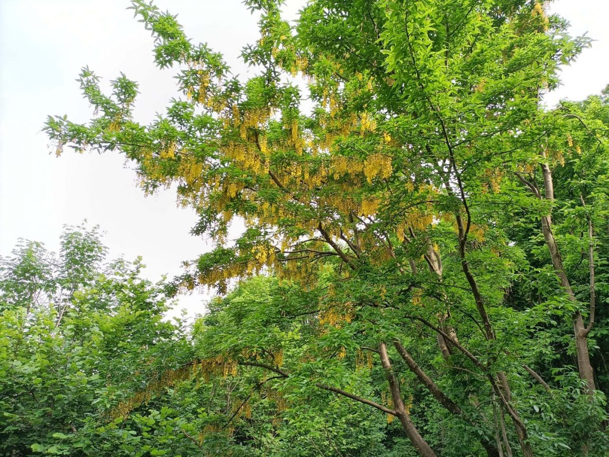 occasional flowering Golden Rain
