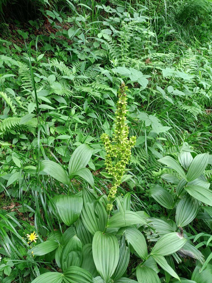 venerea-green-flower