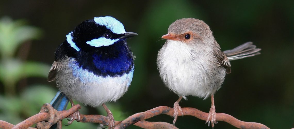 Male and Female wren discuss an unknown future.
