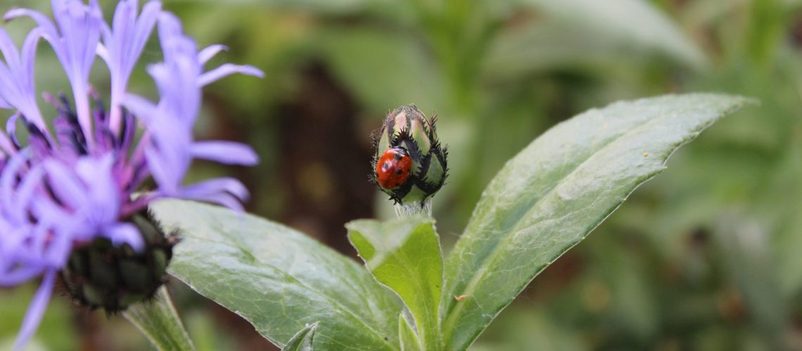 ladybug sits on plant bud - competition versus collaboration blog post - Tigrilla Gardenia